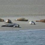 frisia zeehonden